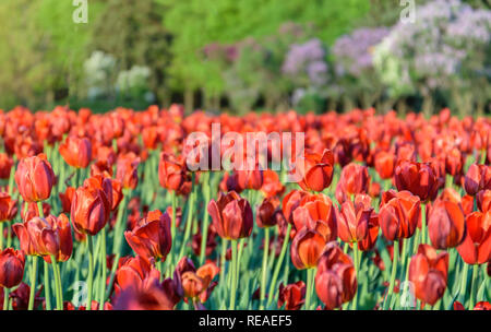 Tulip flower bulb field in the garden, Spring season in Amsterdam Netherlands - Stock Photo