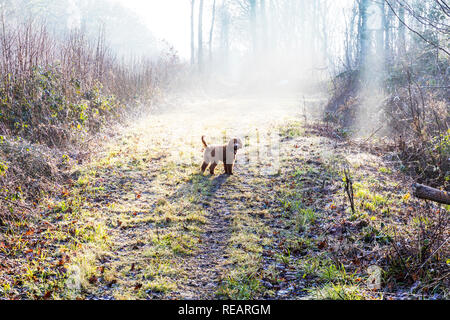 Legbourne Woods, Lincolnshire, UK. 21st January, 2019. UK Weather: Legbourne Woods, Lincolnshire, UK. 21/01/2019 Misty start to the day in Legbourne woods, mist highlighted by the sun burning through the trees in Legbourne Woods near Louth, Lincolnshire UK England. Dexter the Cockerpoo in the mist Credit: Tommy  (Louth)/Alamy Live News - Stock Photo