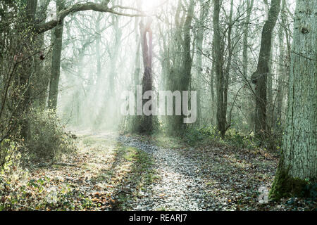 Legbourne Woods, Lincolnshire, UK. 21st January, 2019. UK Weather: Legbourne Woods, Lincolnshire, UK. 21/01/2019 Misty start to the day in Legbourne woods, mist highlighted by the sun burning through the trees in Legbourne Woods near Louth, Lincolnshire UK England Credit: Tommy  (Louth)/Alamy Live News - Stock Photo