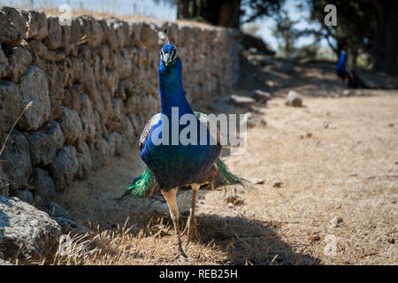 Peacock strolling along stone wall during summer day. Monastery of Filerimos gardens and surroundings apparently become a natural habitat for peacock. - Stock Photo