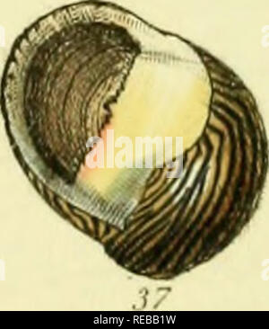 . The conchological illustrations or, Coloured figures of all the hitherto unfigured recent shells. Mollusks; Shells. . Please note that these images are extracted from scanned page images that may have been digitally enhanced for readability - coloration and appearance of these illustrations may not perfectly resemble the original work.. Sowerby, G. B. (George Brettingham), 1812-1884. London : [s. n. ] ; - Stock Photo