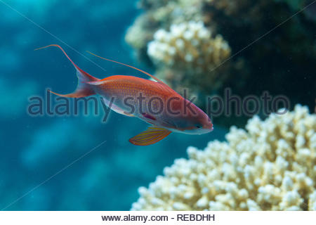 Male Lyretail Anthias on Coral Reef in Red Sea off Dahab, Egypt - Stock Photo