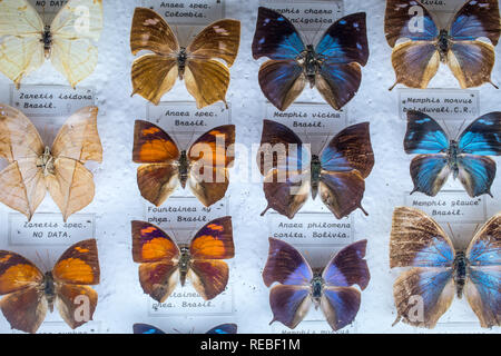 A colorful entomological collection of pinned tropical butterflies, With etiquettes. - Stock Photo