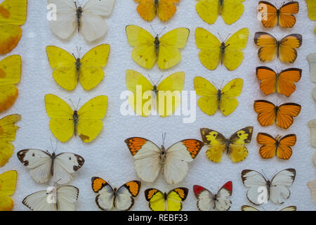An entomological collection of yellow and orange butterflies pinned on a styrofoam base. - Stock Photo