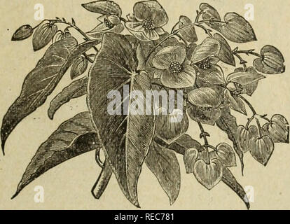 . Drumm Seed and Floral Co. : Fall, 1894-5. Nurseries (Horticulture), Texas, Fort Worth, Catalogs; Flowers, Catalogs; Plants, Ornamental, Catalogs; Trees, Seedlings, Catalogs; Fruit trees, Seedlings, Catalogs. Drumm Seed and Floral Co. 9 Asparagus Plumosus Nanus. The stems of this extremely elegant plant are tufted, slender and gracefully arched. From the upper portions the branches, which are finer than the fronds of the most delicate Fern, spread in all directions. The whole plant is of a bright, cheerful green. It is one of the most distinct and effective decorative plants for the stove or  - Stock Photo