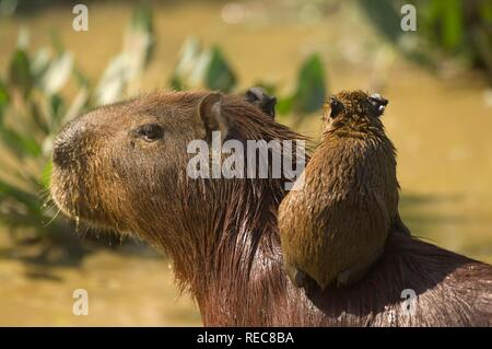 Capybara (Hydrochaeris hydrochaeris), mother and baby, Pantanal, Mato Grosso, Brazil - Stock Photo