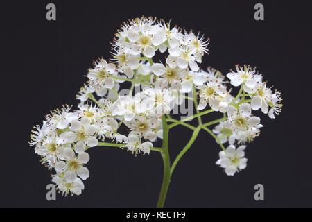 Blossoms of the tree Wild Service Tree, Chequer Tree or Checkers Tree (Sorbus torminalis) - Stock Photo