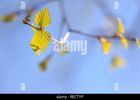 Close-up photo of spring young fresh birch leaves and earrings on tree branches with buds on the background of a blurred blue sky and selective focus - Stock Photo