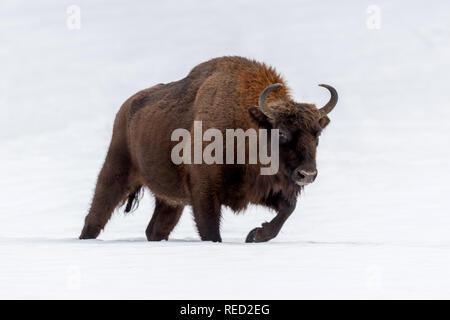 European bison (Bison bonasus) in natural habitat in winter - Stock Photo