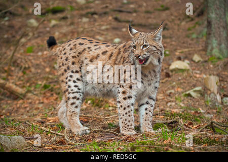 Eursian lynx in autmn forest with blurred background. - Stock Photo