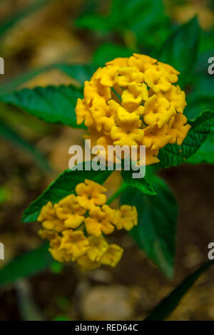 Yellow lantana flowers close-up - Stock Photo