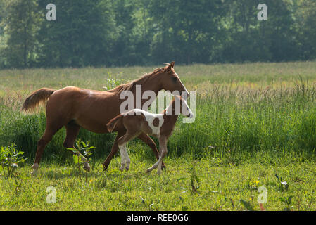 quarter horse portrait - Stock Photo