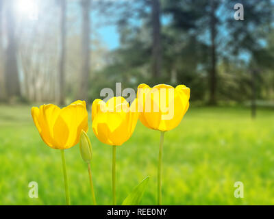 Bright yellow tulips on the blurred park background. Three sunny flowers in the spring garden. - Stock Photo