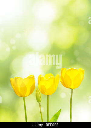 Three bright yellow tulips on the blurred green background. Three flowers in the spring sunny garden. - Stock Photo