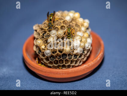 Picture of wasps sitting on its wasp nest in a living room - Stock Photo