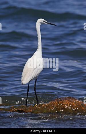 egretta garzetta, little egret on the shore of a lake - Stock Photo