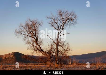 Bald Eagle in tree at Lower Klamath National Wildlife Refuge, California. - Stock Photo