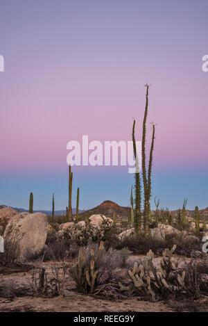 Boojum trees (Cirio), cholla and cardon cactus; Valle de los Cirios, Catavina Desert, Baja California, Mexico. - Stock Photo