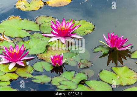 Red waterlilies in garden pond, water lily flower - Stock Photo