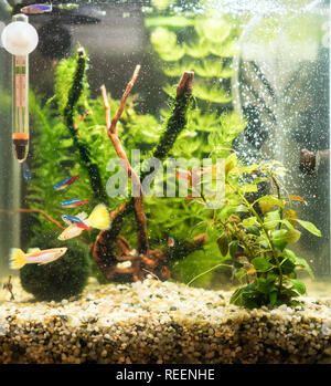 Small nano cube aquarium with fishes and plants. - Stock Photo