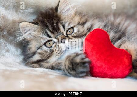 Beautiful Persian kitten cat with red heart - Stock Photo