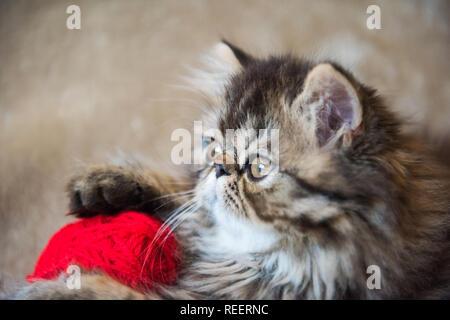 Beautiful Persian kitten cat profile with red heart - Stock Photo