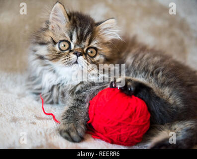 Beautiful Persian kitten cat is playing with red ball of knitting - Stock Photo
