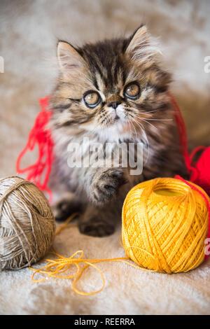 Beautiful Persian kitten cat is playing with ball of knitting - Stock Photo