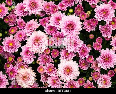 Pink Chrysanthemum flowers blooming in a botanical garden - Stock Photo