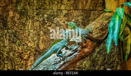 green plumed basilisks sitting together on a tree branch, one male and one female basilisk, tropical lizards from America - Stock Photo