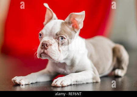close up Boston terrier puppy portrait lying on a black shiny floor with a red curtain background. looking to the side - Stock Photo