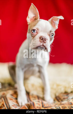 close up Boston terrier puppy portrait sitting on a crumpled rug with a red curtain background. looking to the side - Stock Photo