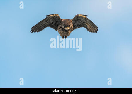 A Common Kestrel Falco tinnunculus hovering and hunting. - Stock Photo