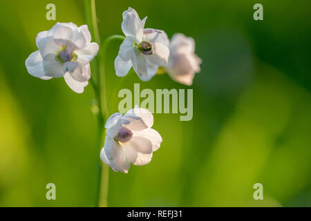 Cuckoo Flower; Cardamine pratensis; Double Flower; UK - Stock Photo