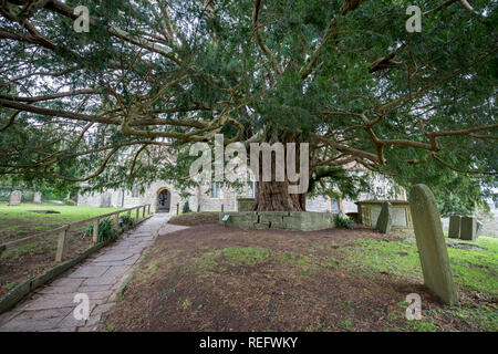 The Ancient Compton Dundon Yew Tree - Stock Photo