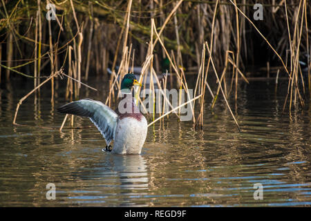 A male Mallard Duck Anas platyrhynchos flapping its wings on a lake. - Stock Photo