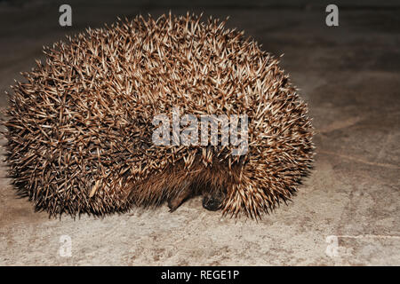 A wonderful hedgehog explores the house and shoots out of it 2019 - Stock Photo