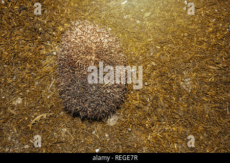 Forest wild hedgehog on a green lawn in the evening 2019 - Stock Photo