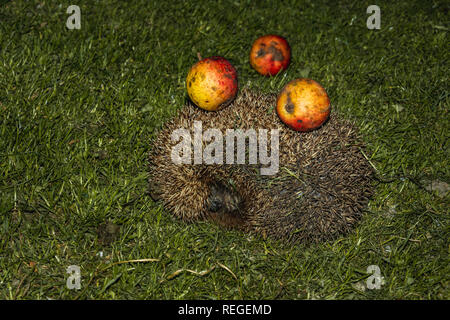 Hedgehog with apples on their needles walks green grass 2019 - Stock Photo