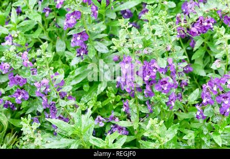 Beautiful Flower, Background of Purple Angelonia goyazensis Benth Flowers with Green Leaves. - Stock Photo