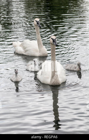 swans on the water - Stock Photo