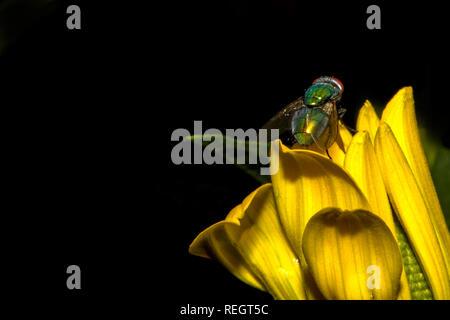 Fliege auf gelber Blüte - Stock Photo