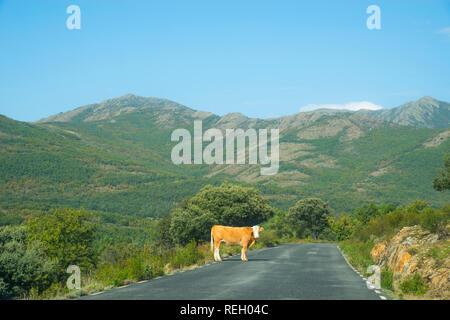 Cow on the road, looking at the camera. Sierra Norte Nature Reserve, Guadalajara province, Castilla La Mancha, Spain. - Stock Photo