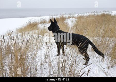 Black Shepherd dog looking to the sea - Stock Photo