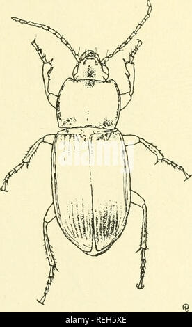 . Coleoptera illustrata. Beetles. COLEOPTERA ILLUSTRATA, VOL. I, No. 4. Carabidae Plate XXII.. .72. Pterostichus nimbatus, Morawitz. $ Long. 10 mm. P atria. Japan.. Please note that these images are extracted from scanned page images that may have been digitally enhanced for readability - coloration and appearance of these illustrations may not perfectly resemble the original work.. Notman, Howard. Brooklyn, N. Y - Stock Photo