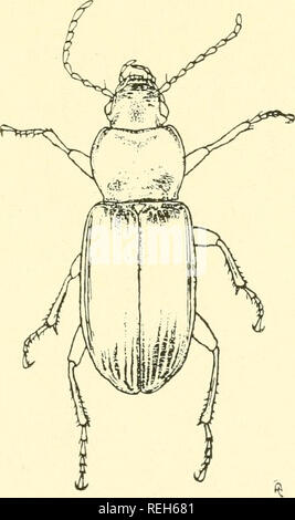 . Coleoptera illustrata. Beetles. Coleoptera Illustrata, Vol. I, No. 3. Plate XXVI. Carabidae. 126. Pterostichus nigritus, Fabricius. $ Long. 10.75 mm. Patria. Europe, Siberia.. Please note that these images are extracted from scanned page images that may have been digitally enhanced for readability - coloration and appearance of these illustrations may not perfectly resemble the original work.. Notman, Howard. Brooklyn, N. Y - Stock Photo