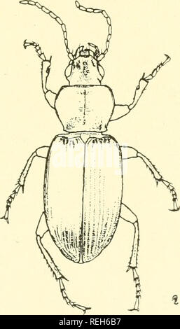 . Coleoptera illustrata. Beetles. Coleoptera Illustrata, Vol. I, No. 3. Plate XIV. Carabidae. 114. Pterostichus puncticollis, Dejean. <$ Long. 10 mm. Patria. Southern Central Europe, Italy, Greece.. Please note that these images are extracted from scanned page images that may have been digitally enhanced for readability - coloration and appearance of these illustrations may not perfectly resemble the original work.. Notman, Howard. Brooklyn, N. Y - Stock Photo