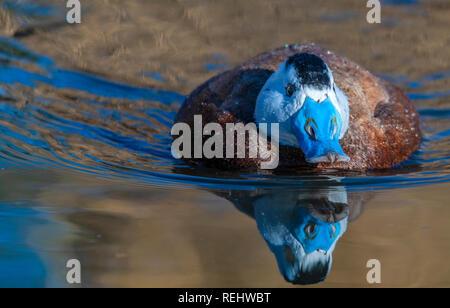 January 2018:  White headed whistling ducks. Clifford Norton Alamy. - Stock Photo