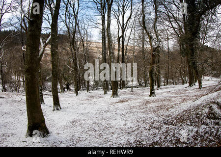 A copice of trees with snow on the ground - Stock Photo