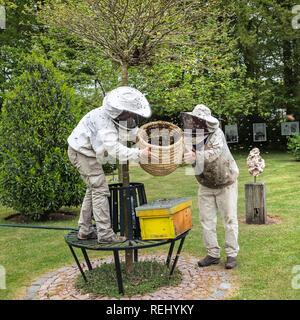 Honey bees (Apis mellifera) swarming out. Beekeepers collecting swarm. De Zanderij rural estate. 's-Gravelandse Buitenplaatsen, 's-Graveland, The Neth - Stock Photo